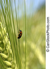 Ground beetle - A ground beetle climbs up a green ear of...