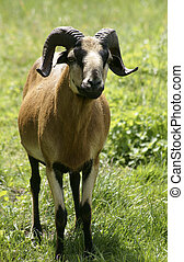 Billy-goat - The photograph of a horned goat...