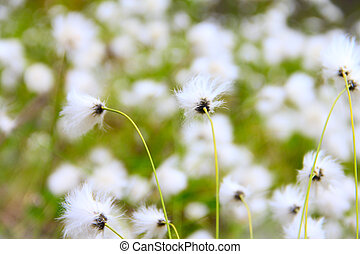 Eriophorum vaginatum - Beautiful white flowers od...