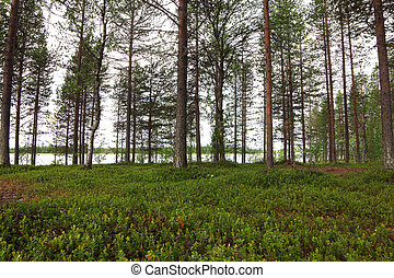 Pine forest and lake - Summer landscape with pine forest and...