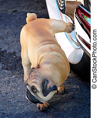 Pug peeing - Pug peeing on the whitewall tire of a classic...
