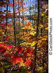 Autumn splendor - Foliage of colorful fall maple trees in...