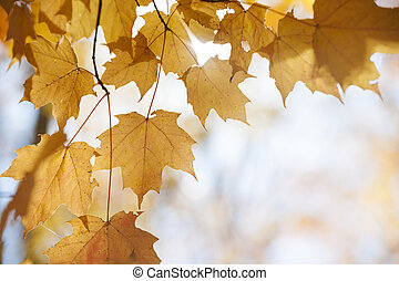 Backlit maple leaves in fall