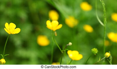 Yellow flowers. - Anemone, windflower or (common) celandin...