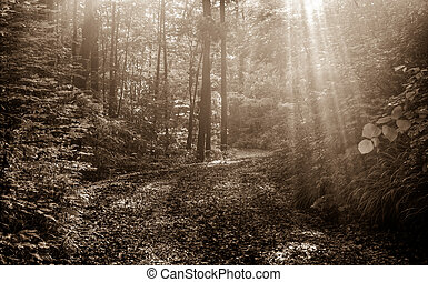 Sunbeams In Sepia - Sunbeams through the dense forest along...