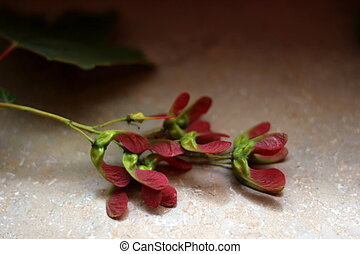 Red Maple Fruits - Red maple Acer Rubrum fruits lying on...