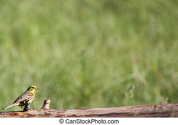 Young Yellowhammer - Young yellowhammer in...