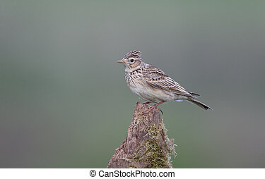 Skylark, Alauda arvensis, single bird on post, Warwickshire,...