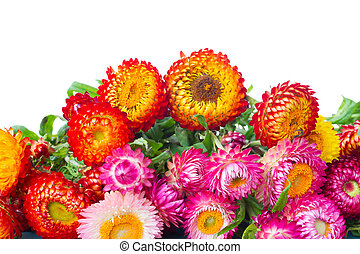 Everlasting flowers - border of Everlasting flowers bouquet...
