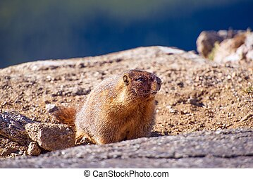 Yellow-Bellied Marmot Resting in the Sun. Colorado Rocky...