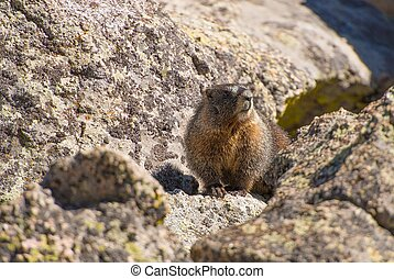 Colorado Marmot. Yellow Bellied Marmot Between the Rocks....