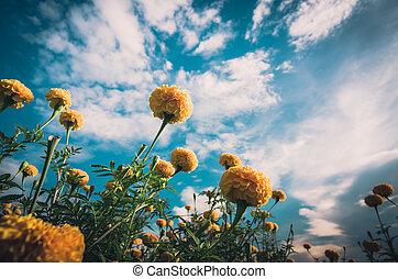 Marigolds or Tagetes erecta flower vintage - Marigolds or...