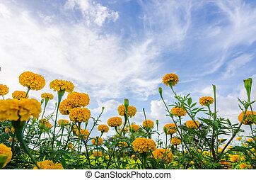 Marigolds or Tagetes erecta flower in the nature or garden