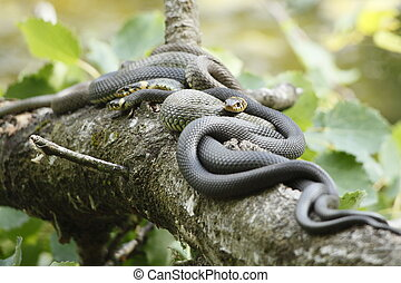 some grass snakes are laying in the sun