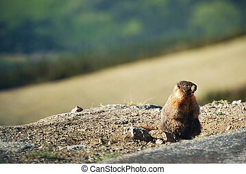 Little Marmot - Little Colorado Rocky Mountains Marmot in...