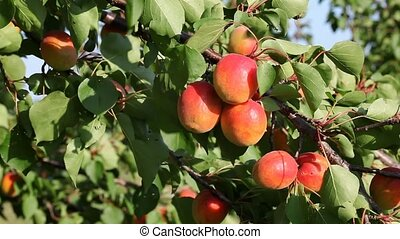 Apricot tree with fruit - Apricot fruit at tree branch in...