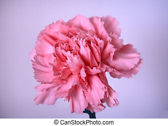 Carnation - signal pink gillyflower on a blue background
