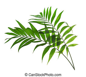 Green leaves of palm tree Howea isolated on white