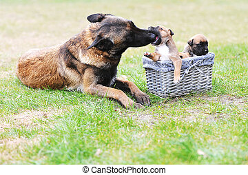 dog with puppies - female dog of belgian shepherds malinois...