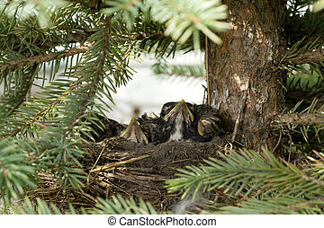 Bird Nest - A bird nest with baby robins waiting for food