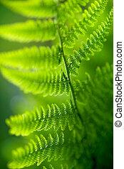 back lit fern leaf - Close up of back lit fern leaf in...