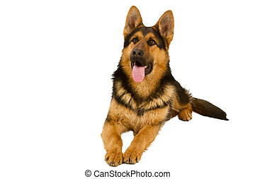 German Shepherd lying in front, isolated on white...
