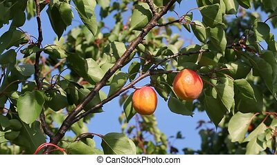 Apricot tree, fruit at branch