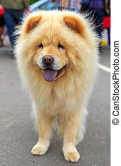 Cream dog Chow-Chow breed. Focus on the dog muzzle, shallow...