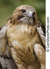 Red-tailed Hawk closeup - Themes: birds, wildlife, nature,...