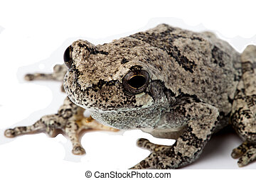 Gray Treefrog isolated on white.