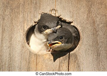 Baby Tree Swallows (tachycineta bicolor) in a bird house