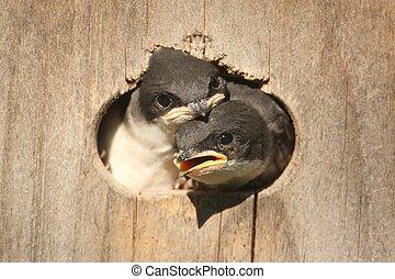 Baby Tree Swallows (tachycineta bicolor) in a bird house