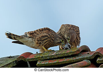 Sharing - The juvenile european kestrels (Falco tinnunculus)...