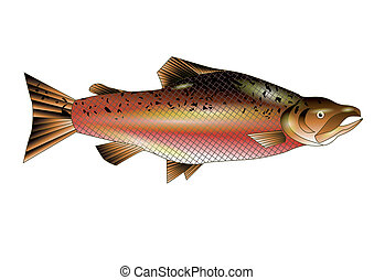 salmon. adult fish isolated on white background