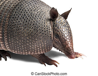 Armadillo - Mulita, Armadillo of six bands, on to white...