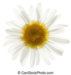 ox eye daisy isolated