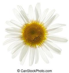 ox eye daisy isolated
