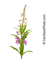 fireweed flowering spike isolated on whiet