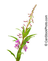 fireweed flowering spike isolated on white