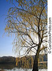 Flowering Willow Tree - Flowering Willow tree in early...