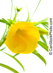 yellow oleander flower isolated on white
