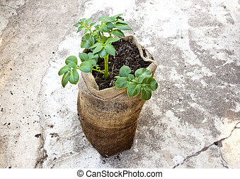 Single Potato Plant Growing in Hessian Sack - single potato...