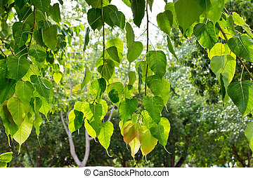 Bodhi or Peepal Leaf from the Bodhi tree, Sacred Tree for...