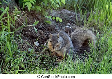 Fox Squirrel - Fox squirrel eating on the ground