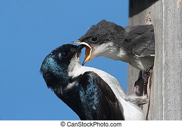 Tree Swallow Feeding A Baby - Tree Swallow (tachycineta...