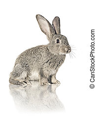 rabbit on white background - one grey rabbit sitting on...