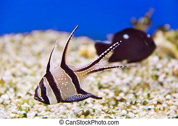 Apogon - Photo of aquarium fish apogon in blue water