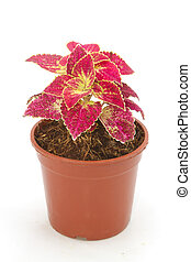 Coleus in a pot isolated