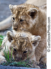 Young lions born in Zurich zoo