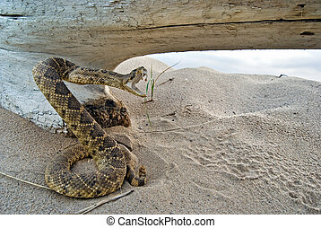 Sneaky Snake - Rattle snake posed to strike by old log.